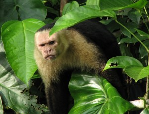White-faced Capuchin. Photo: Encarna Sáez Goñalons & Víctor Martínez Mol. Creative Commons Attribution-Share Alike 3.0 license.